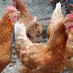 Contagious Bird Disease Still Threatens Flocks in the Inland Region